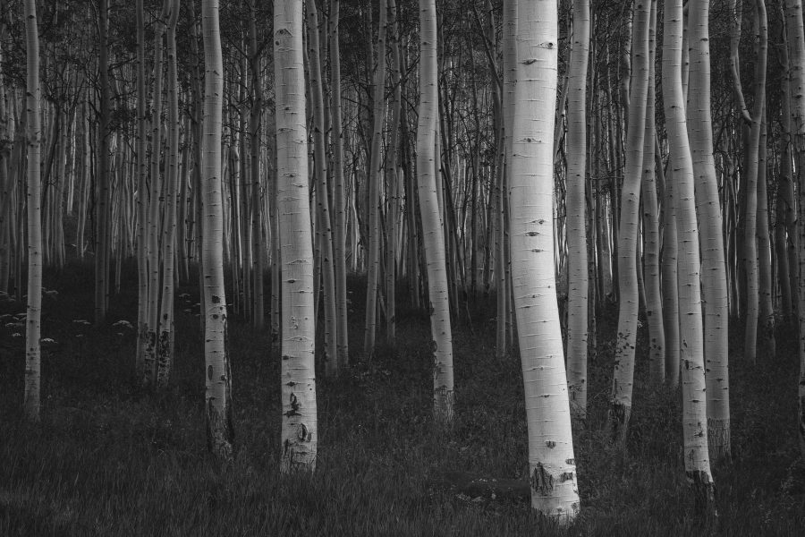Young Aspens give a gorgeous contrast in soft light